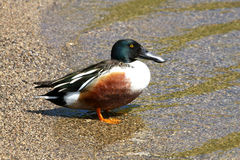 Northern Shoveler Duck Male. In Morning Sun Stock Images