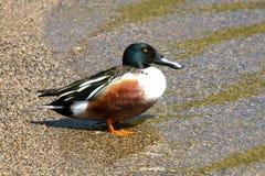 Northern Shoveler Duck Male. In Morning Sun stock images