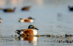 Northern Shoveler Duck - Male. The northern shoveler Anas clypeata or northern shoveller male duck in its natural habitat Stock Images