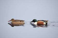 Northern Shoveler duck. Male and female on water. Anas clypeata Stock Photography