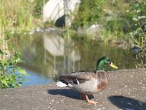 Northern Shoveler duck in vancouver bc canada.  Stock Photography