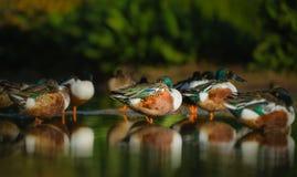 Northern Shoveler Ducks on a Lake royalty free stock photo