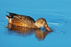 Northern Shoveler Royalty Free Stock Images