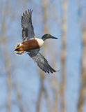 Northern Shoveler in flight Royalty Free Stock Photo