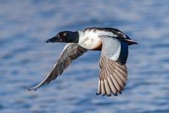 Northern Shoveler in Flight. Northern Shoveler skimming across a clear blue lake Royalty Free Stock Images
