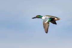 Northern Shoveler Flying Stock Photo