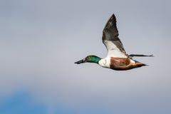 Northern Shoveler Flying Stock Images