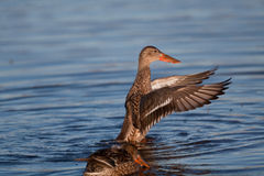 A Northern Shoveler hen Royalty Free Stock Photography