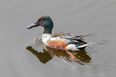 Northern Shoveler Male Duck. The northern shoveler, known simply in Britain as the shoveler, is a common and widespread duck. It breeds in northern areas of Royalty Free Stock Images