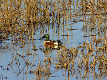Northern shoveler male duck Royalty Free Stock Images