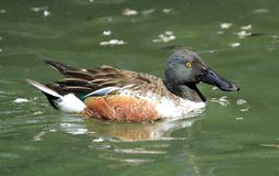 Northern shoveler male duck. Floating on the water Stock Photo