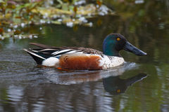 Northern Shoveler. A male Northern Shoveler duck swimming to the right in calm waters of a pond and making ripples Royalty Free Stock Images