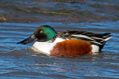 Northern Shoveler Stock Photo