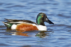 Northern Shoveler. Male Northern Shoveler floating in the blue water Royalty Free Stock Images
