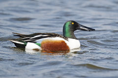 Northern Shoveler. Male Northern Shoveler floating in the blue water Royalty Free Stock Photography