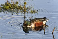 Northern Shoveler. Anas Spatula clypeata Male Duck Feeding in water Royalty Free Stock Photos