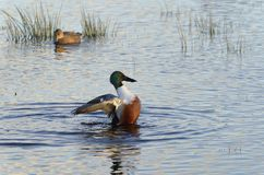 Northern Shoveler. Anas Spatula clypeata Male Duck flapping wings Royalty Free Stock Photo