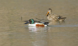 Northern Shoveler Pair Stock Photography