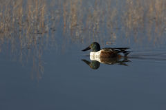 Northern Shoveler reflected in water Royalty Free Stock Photos