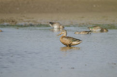 Northern shoveler Stock Images