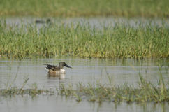 Northern shoveler. The northern shoveler, or northern shoveller in British English, sometimes known simply as the shoveller, is a common and widespread duck Stock Photography