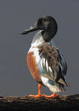 Northern Shoveler Standing on a Log Royalty Free Stock Images