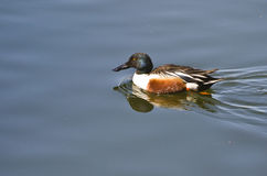 Northern Shoveler Swimming in a Lake Stock Photography