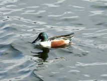 Northern Shoveler Wading In A Lake in Rockland Lake, NY Stock Photography