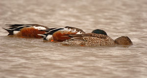Northern Shovelers Feeding In Lake Royalty Free Stock Photos