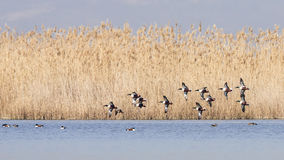 Northern Shovelers in Flight Stock Photography