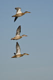 Northern Shovelers Flying in a Blue Sky Stock Photo