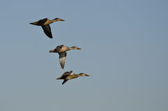 Northern Shovelers Flying in a Blue Sky Royalty Free Stock Images