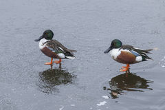 Northern Shovelers on Ice Royalty Free Stock Image