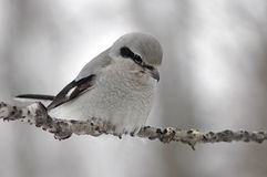 Northern shrike Stock Photography
