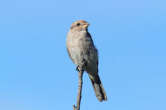 Northern Shrike Stock Images
