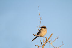 Northern Shrike, Lanius excubitor Stock Photos