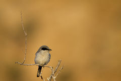 Northern Shrike, Lanius excubitor Stock Images