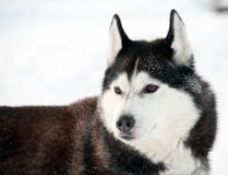Northern sled dog Royalty Free Stock Photography