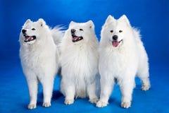 Northern sled dog Stock Photo