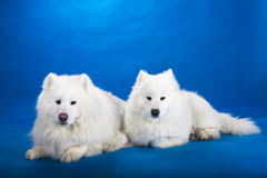 Northern sled dog Royalty Free Stock Image