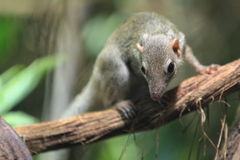 Northern smooth-tailed treeshrew Stock Image