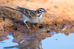 Northern sparrow drinking water Royalty Free Stock Images