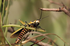 Northern spotted grasshopper Royalty Free Stock Images