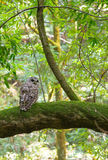 Northern Spotted Owl Stock Image