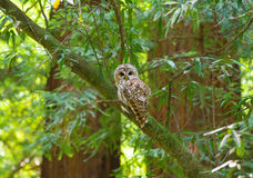Northern Spotted Owl. Hunting in Muir Woods, California Stock Photography