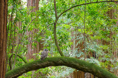 Northern Spotted Owl Stock Photo