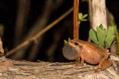 Northern Spring Peeper. A Northern Spring Peeper found during the spring amphibian migration Royalty Free Stock Photo