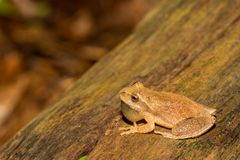 Northern Spring Peeper, Pseudacris crucifer. A Northern Spring Peeper calling from the edge of a vernal pool in Connecticut Royalty Free Stock Images