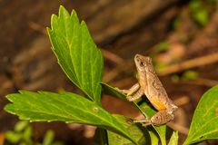 Northern Spring Peeper, Pseudacris crucifer. A Northern Spring Peeper calling from the edge of a vernal pool in Connecticut Stock Photo