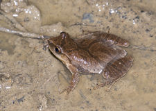 Northern Spring Peeper. (Pseudacris crucifer) overview Royalty Free Stock Image